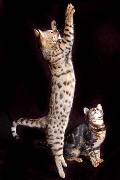 Simias Bengals - Home raised Bengal kittens in the Boston area